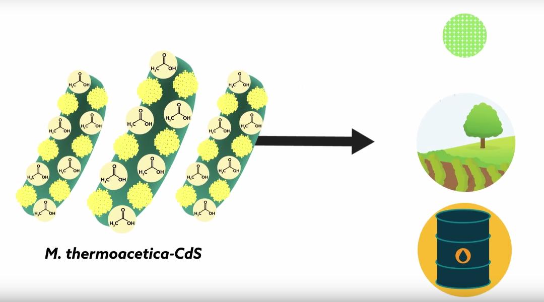 Crean bacterias ciborg que pueden hacer fotosíntesis mejor que las plantas