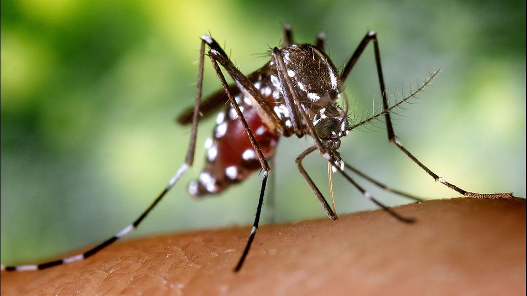 Mosquito Aedes Albopictus