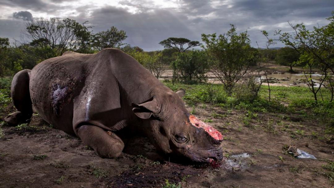 Esta foto de un rinoceronte ganó el Wildlife Photographer of the Year