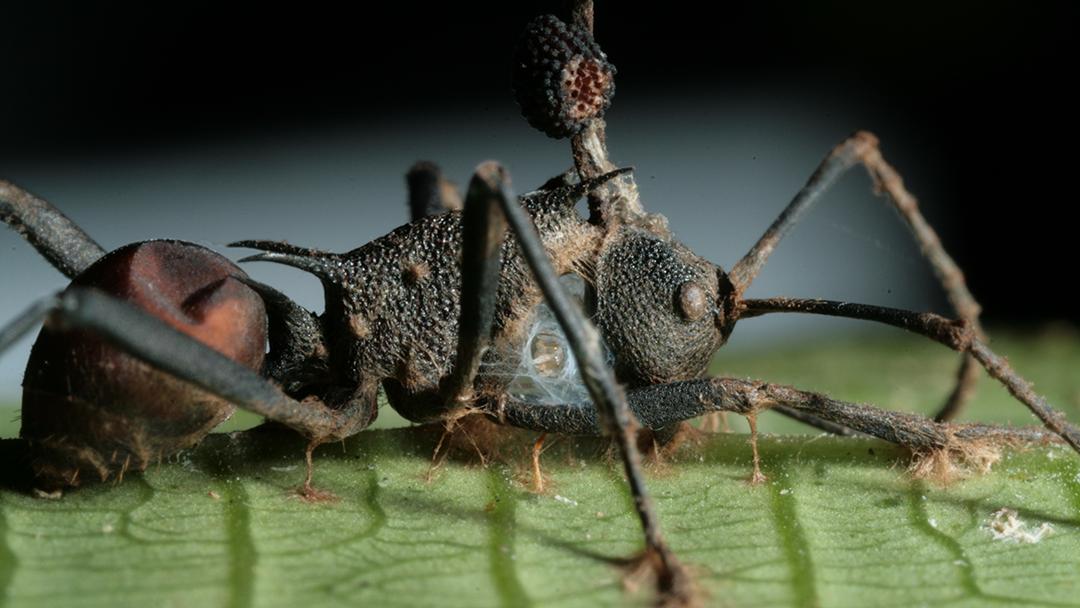 Nuevos hallazgos sobre el hongo que convierte a las hormigas en zombies