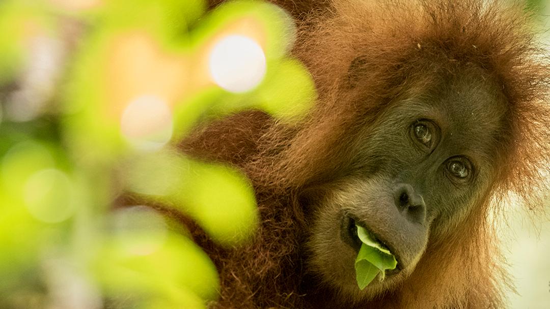 Encontraron una nueva especie de orangután, pero está en peligro de extinción