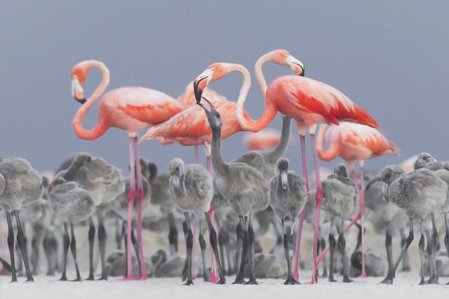 pink flamingos feeding their young at a nesting area in RÌo Lagartos, Mexic.