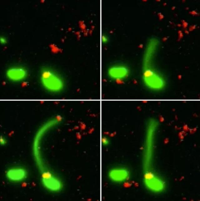 Momento en el que una bacteria absorbe el ADN de otra muerta.