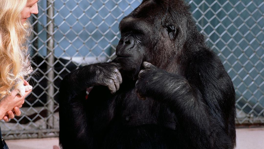 Koko, el gorila que hablaba con las manos