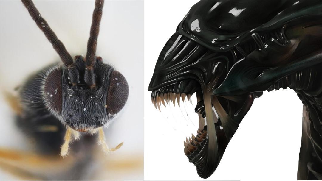 Dolichogenidea xenomorph