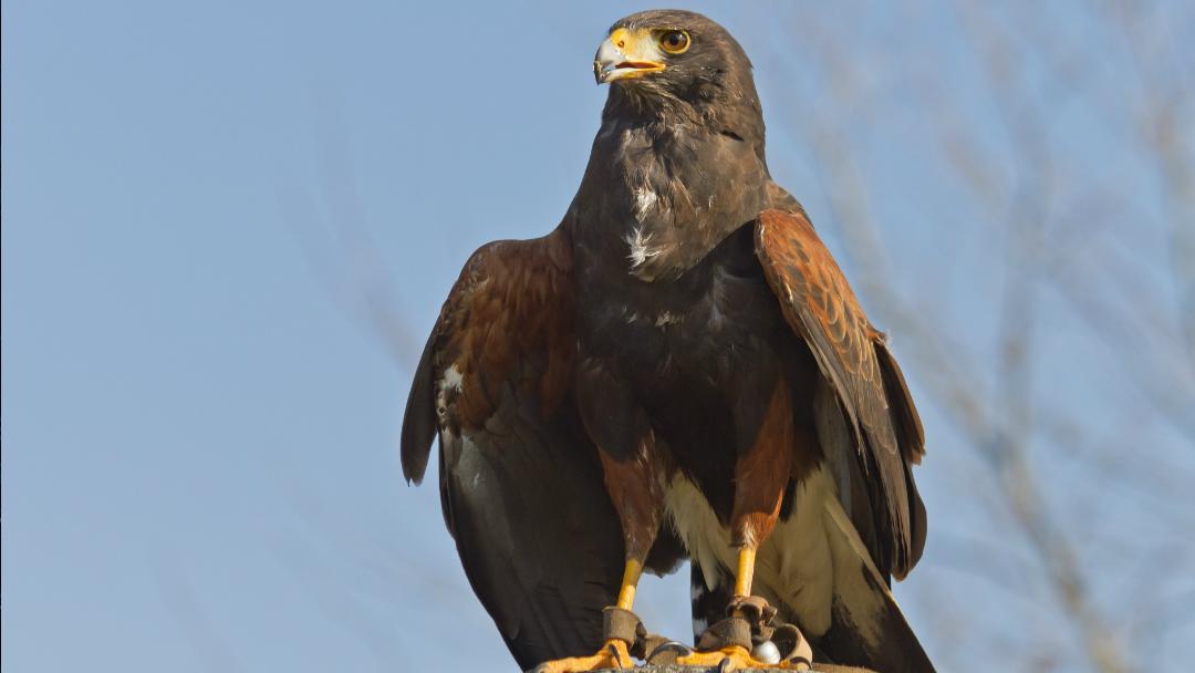 Aguila de Harris-Metro-CDMX