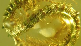milpiés-Fósil-Dinosaurios