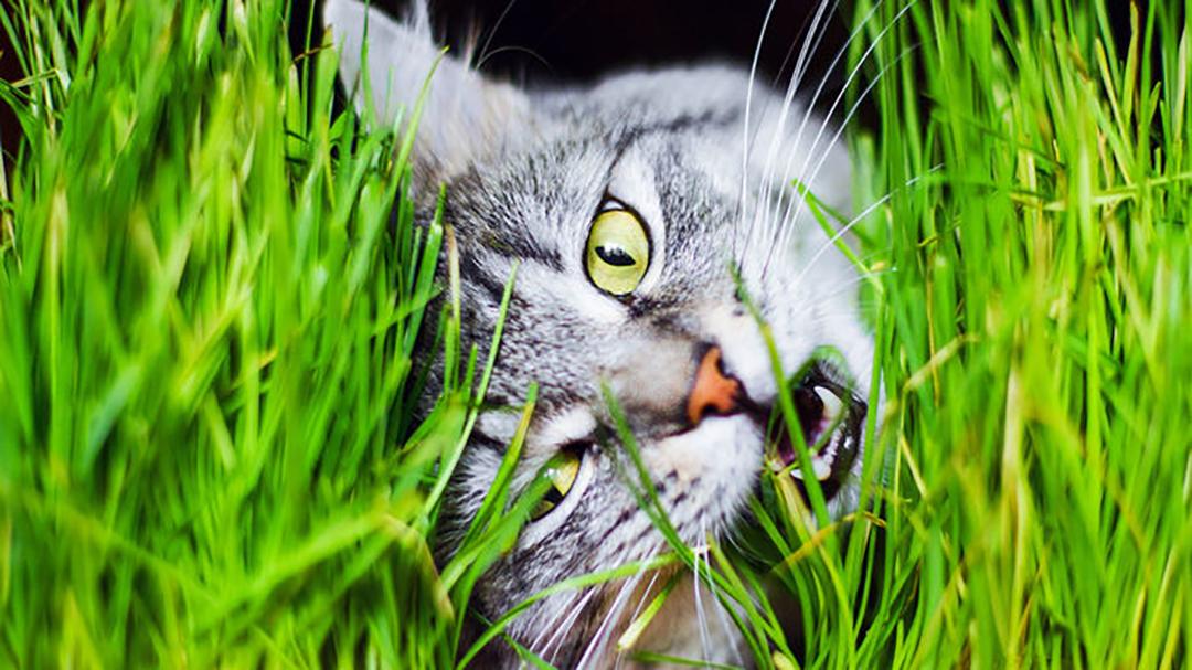 Gato Comiendo Pasto