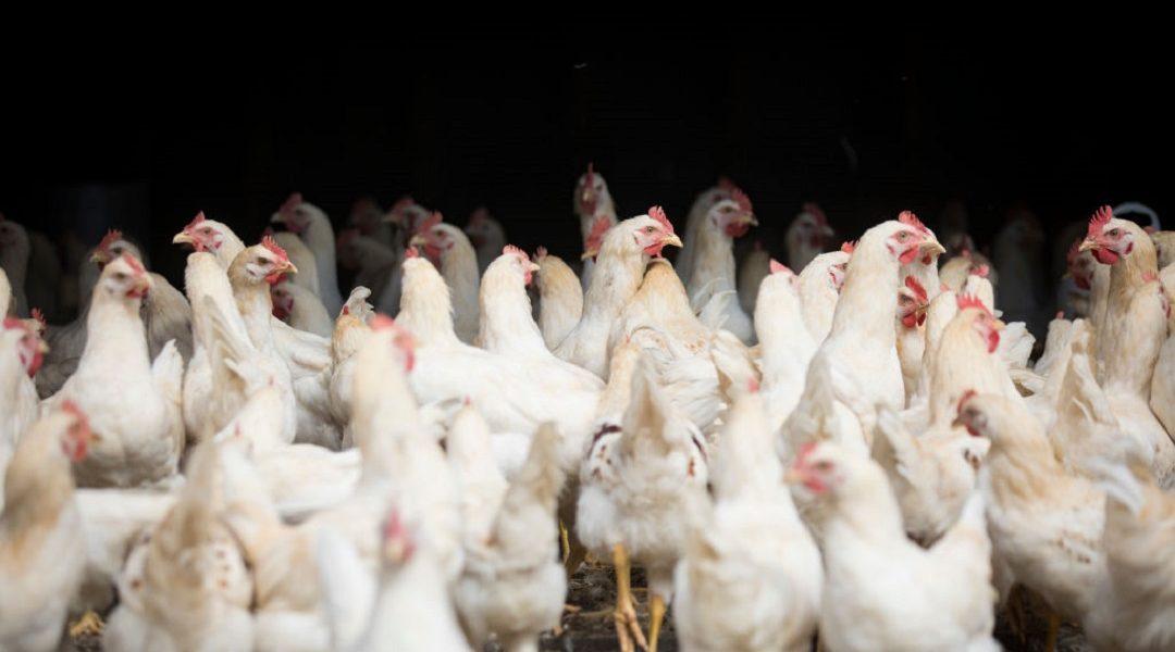 Hombre compr mil gallinas accidentalmente