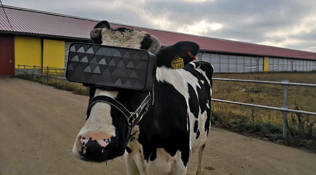 Las vacas que utilizan visores VR Son capaces de producir mejor leche