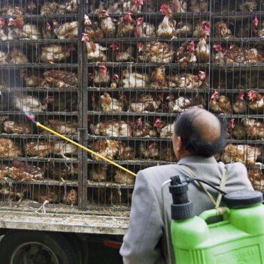 Gripe Aviar H5N6