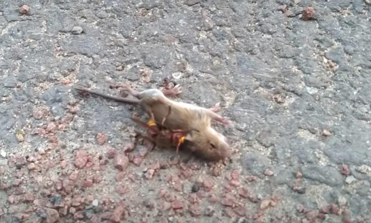 Ratón Avispón Asesino