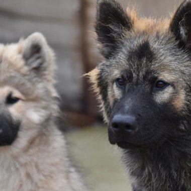 Perros pudieron ser domesticados por accidente