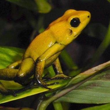 Rana dorada venenosa, el animal más venenoso del mundo
